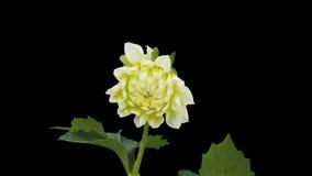 Άνθος λουλουδιών Dhalia timelapse που αποκόπτει