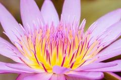 Άνθος λουλουδιών Lotus Στοκ εικόνα με δικαίωμα ελεύθερης χρήσης