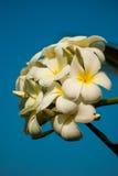 Άνθος λουλουδιών Plumeria Στοκ εικόνα με δικαίωμα ελεύθερης χρήσης