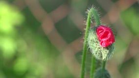 Άνθος οφθαλμών παπαρουνών Ένα λεπτό λουλούδι απόθεμα βίντεο
