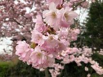 Άνθος σε ένα δέντρο κερασιών στοκ φωτογραφία με δικαίωμα ελεύθερης χρήσης