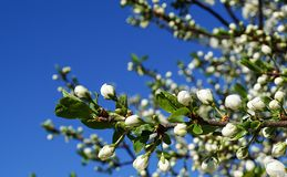 Άνθος στα δέντρα aple στον κήπο Στοκ Εικόνες