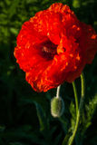Άνθος της παπαρούνας στοκ φωτογραφίες με δικαίωμα ελεύθερης χρήσης