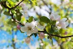 Άνθος της Apple άνοιξη Στοκ εικόνες με δικαίωμα ελεύθερης χρήσης