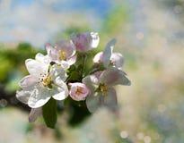 Άνθος της Apple άνοιξη Στοκ φωτογραφία με δικαίωμα ελεύθερης χρήσης