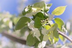 Άνθος της Apple, δέντρο μηλιάς στον κήπο Στοκ εικόνα με δικαίωμα ελεύθερης χρήσης