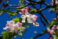 Άνθος της Apple, η αιώνια συμπάθεια άνοιξης, που λαμβάνεται σε ένα όμορφο απόγευμα άνοιξη στη κομητεία κάτω στη Βόρεια Ιρλανδία Στοκ Εικόνες