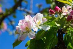 Άνθος της Apple, η αιώνια συμπάθεια άνοιξης, που λαμβάνεται σε ένα όμορφο απόγευμα άνοιξη στη κομητεία κάτω στη Βόρεια Ιρλανδία Στοκ Εικόνα