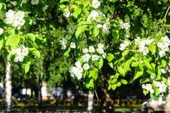 Άνθος της Apple, θερινή περίοδο στη Ρωσία Στοκ Εικόνα