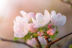 Άνθος της Apple κερασιών Στοκ Εικόνα