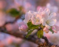 Άνθος της Apple κερασιών Στοκ φωτογραφία με δικαίωμα ελεύθερης χρήσης