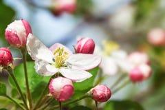 Άνθος της Apple με τα ρόδινους λουλούδια και τους οφθαλμούς Στοκ Εικόνες