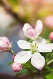 Άνθος της Apple με τα ρόδινους λουλούδια και τους οφθαλμούς Στοκ Εικόνα