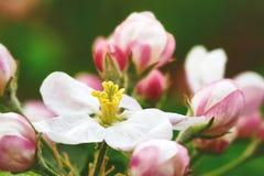Άνθος της Apple με τα ρόδινους λουλούδια και τους οφθαλμούς Στοκ φωτογραφίες με δικαίωμα ελεύθερης χρήσης