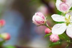 Άνθος της Apple με τα ρόδινους λουλούδια και τους οφθαλμούς Στοκ Φωτογραφία