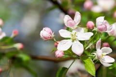 Άνθος της Apple με τα ρόδινους λουλούδια και τους οφθαλμούς Στοκ φωτογραφία με δικαίωμα ελεύθερης χρήσης