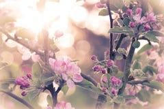 Άνθος της Apple με τον ήλιο που λάμπει πίσω Στοκ Εικόνες