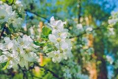 Άνθος της Apple, πάρκο, Ρήγα, Λετονία, 2017 Στοκ Εικόνα