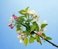 Άνθος της Apple πέρα από το μπλε ουρανό - άνοιξη στη φύση Στοκ εικόνα με δικαίωμα ελεύθερης χρήσης