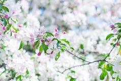 Άνθος της Apple πέρα από το υπόβαθρο φύσης, όμορφο λουλούδι άνοιξη Στοκ Φωτογραφία