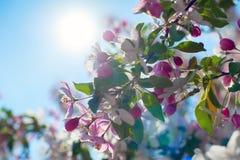 Άνθος της Apple πέρα από το υπόβαθρο φύσης, όμορφο λουλούδι άνοιξη Στοκ φωτογραφίες με δικαίωμα ελεύθερης χρήσης
