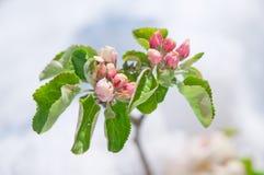 Άνθος της Apple, που ανθίζει στο δέντρο μηλιάς μετά από τις χιονοπτώσεις άνοιξη Στοκ εικόνα με δικαίωμα ελεύθερης χρήσης