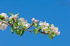 Άνθος της Apple, που ανθίζει στο δέντρο μηλιάς μετά από τις χιονοπτώσεις άνοιξη Στοκ φωτογραφίες με δικαίωμα ελεύθερης χρήσης