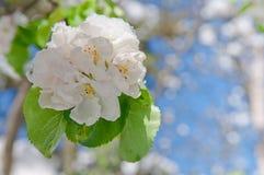 Άνθος της Apple, που ανθίζει στο δέντρο μηλιάς μετά από τις χιονοπτώσεις άνοιξη Στοκ Εικόνα
