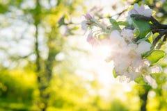 Άνθος της Apple σε ένα δέντρο μηλιάς σε έναν εσωτερικό κήπο με τον ήλιο που λάμπει πίσω Στοκ εικόνες με δικαίωμα ελεύθερης χρήσης
