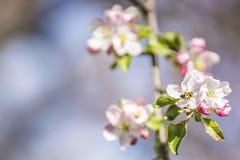 Άνθος της Apple σε ένα δέντρο μηλιάς σε έναν εσωτερικό κήπο με τον ήλιο που λάμπει πίσω Στοκ εικόνα με δικαίωμα ελεύθερης χρήσης