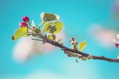 Άνθος της Apple σε ένα δέντρο μηλιάς σε έναν εσωτερικό κήπο με τον ήλιο που λάμπει πίσω Στοκ φωτογραφία με δικαίωμα ελεύθερης χρήσης