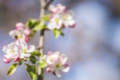 Άνθος της Apple σε ένα δέντρο μηλιάς σε έναν εσωτερικό κήπο με τον ήλιο που λάμπει πίσω Στοκ Φωτογραφία