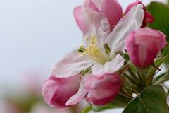 Άνθος της Apple στην άνθιση Στοκ Εικόνες
