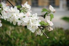 Άνθος της Apple στην άνοιξη Λουλούδια της Apple στον κλάδο Στοκ Φωτογραφίες