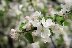Άνθος της Apple στην άνοιξη Λουλούδια της Apple στον κλάδο Στοκ φωτογραφίες με δικαίωμα ελεύθερης χρήσης