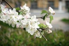 Άνθος της Apple στην άνοιξη Λουλούδια της Apple στον κλάδο Στοκ εικόνες με δικαίωμα ελεύθερης χρήσης