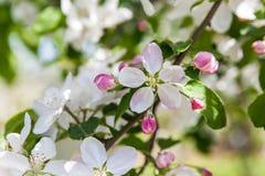 Άνθος της Apple στην άνοιξη Στοκ φωτογραφία με δικαίωμα ελεύθερης χρήσης