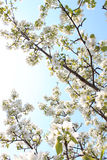 Άνθος της Apple στον ήλιο Στοκ Φωτογραφία
