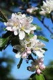 Άνθος της Apple στον κλάδο του δέντρου μηλιάς την άνοιξη Στοκ Φωτογραφίες
