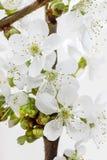 Άνθος της Apple στο άσπρο υπόβαθρο Στοκ Εικόνες