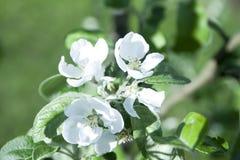 Άνθος της Apple στο θερινό κήπο Στοκ Φωτογραφίες