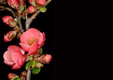 Άνθος της Apple στο μαύρο υπόβαθρο Στοκ φωτογραφίες με δικαίωμα ελεύθερης χρήσης