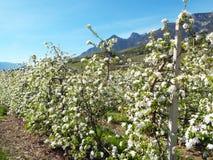 Άνθος της Apple στο νότιο Τύρολο Στοκ Εικόνες