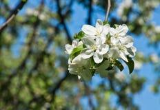 Άνθος της Apple στο πάρκο την ηλιόλουστη ημέρα Στοκ φωτογραφία με δικαίωμα ελεύθερης χρήσης