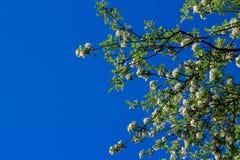 Άνθος της Apple στο υπόβαθρο μπλε ουρανού Στοκ Εικόνα