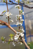Άνθος της Apple Στοκ Φωτογραφίες