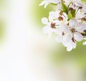 Άνθος της Apple Στοκ φωτογραφία με δικαίωμα ελεύθερης χρήσης
