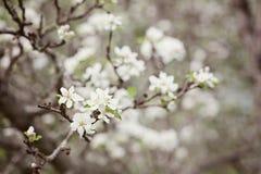 Άνθος της Apple Στοκ Φωτογραφία