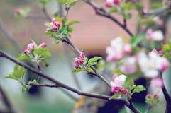 Άνθος της Apple Στοκ Εικόνα