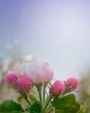 Άνθος της Apple 4c Στοκ Φωτογραφίες